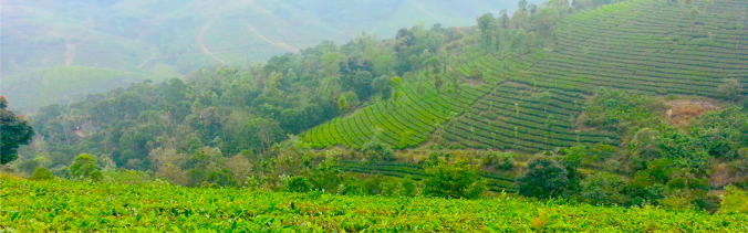 Vagamon - Tea Plantation 02.png