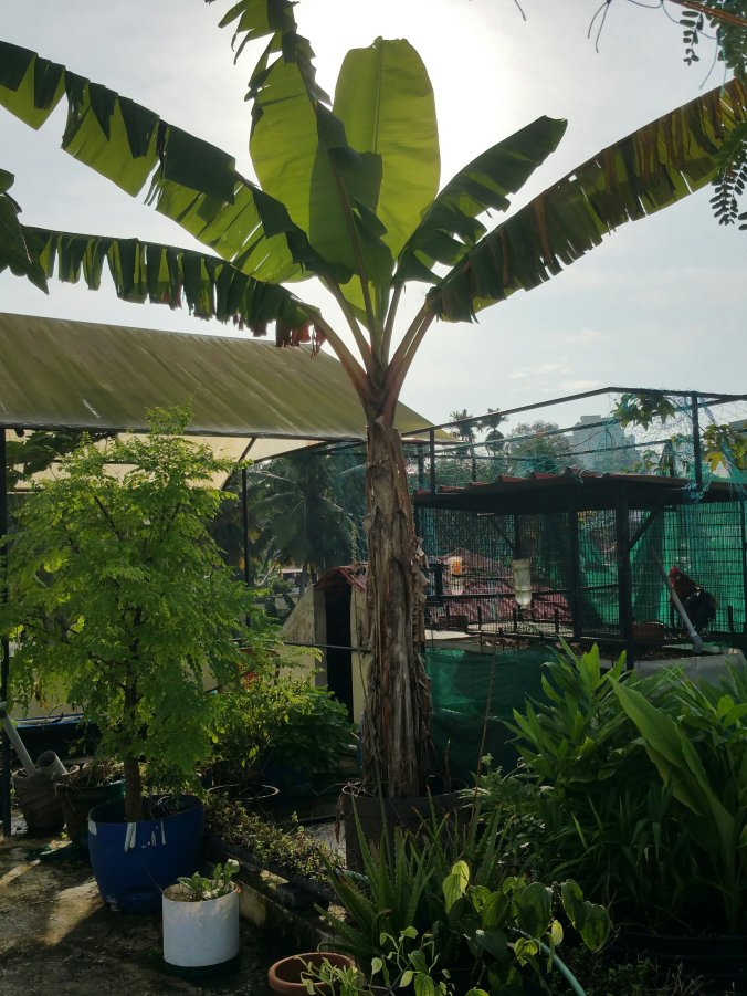 Banana plant on rooftop container