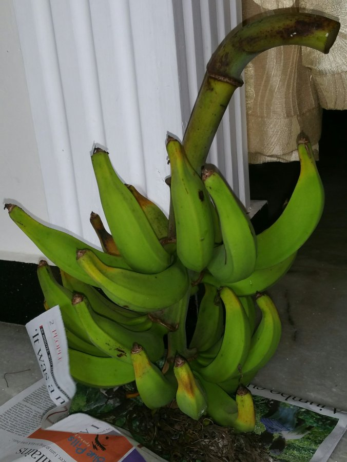 Banana (plantain) from rooftop container