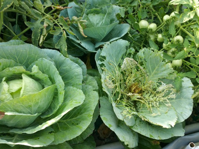 Cabbage plant infected in aquaponics